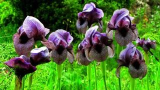 iris sofrana